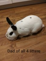 Domestic rabbit Rabbits for sale in Bismarck, ND, USA. price: NA
