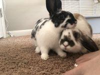 Domestic rabbit Rabbits for sale in Albuquerque, NM 87124, USA. price: NA