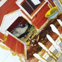Domestic rabbit Rabbits for sale in Venice, FL 34286, USA. price: NA