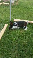 Domestic rabbit Rabbits for sale in Gallitzin, PA 16641, USA. price: NA