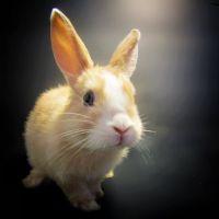 Domestic rabbit Rabbits for sale in Benson, AZ, USA. price: NA