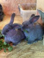 Domestic rabbit Rabbits for sale in Claremore, OK, USA. price: NA