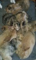 Domestic rabbit Rabbits for sale in Front Royal, VA 22630, USA. price: NA
