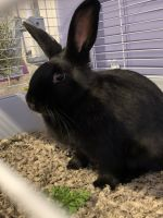 Domestic rabbit Rabbits for sale in 1329 Cleveland Dr, Buffalo, NY 14225, USA. price: NA