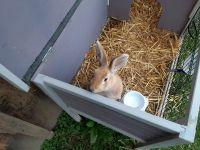 Domestic rabbit Rabbits for sale in Interlaken, NY 14847, USA. price: NA