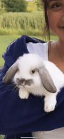 Domestic rabbit Rabbits for sale in Hartland, MI 48353, USA. price: NA