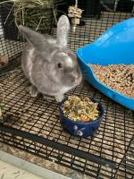Domestic rabbit Rabbits for sale in West Chester, PA, USA. price: NA
