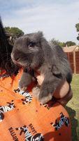 Domestic rabbit Rabbits for sale in Grand Prairie, TX, USA. price: NA