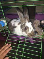 Domestic rabbit Rabbits for sale in New York, NY, USA. price: NA