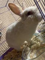Domestic rabbit Rabbits for sale in Chino, CA, USA. price: NA