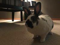 Domestic rabbit Rabbits for sale in Hudson, WI 54016, USA. price: NA