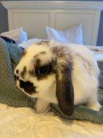 Domestic rabbit Rabbits for sale in VLG OF LAKEWD, IL 60014, USA. price: NA