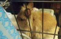 Domestic rabbit Rabbits for sale in Irving, TX, USA. price: NA