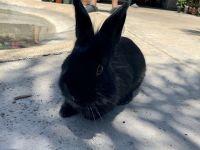Domestic rabbit Rabbits for sale in Sacramento, CA, USA. price: NA