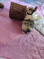 Domestic rabbit Rabbits for sale in Stafford, VA 22554, USA. price: NA