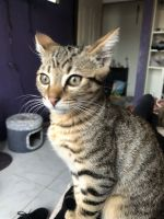 Domestic Shorthaired Cat Cats for sale in San Francisco, CA 94110, USA. price: NA