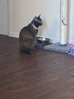 Domestic Shorthaired Cat Cats for sale in Southeast Washington, D.C., Washington, DC, USA. price: NA