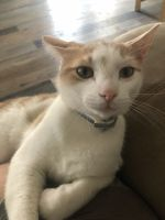Domestic Shorthaired Cat Cats for sale in McKinney, TX, USA. price: NA