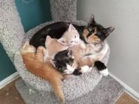 Domestic Shorthaired Cat Cats for sale in Colorado Springs, CO, USA. price: NA
