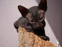 Don Sphynx Cats for sale in Los Angeles, CA, USA. price: NA