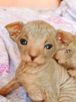 Don Sphynx Cats for sale in Brooklyn, NY, USA. price: NA