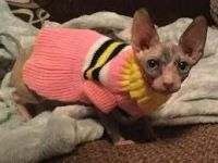 Don Sphynx Cats for sale in Frederick, MD, USA. price: NA