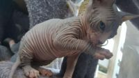 Don Sphynx Cats for sale in Blytheville, AR 72315, USA. price: NA