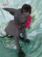 Don Sphynx Cats for sale in Kansas City, KS, USA. price: NA