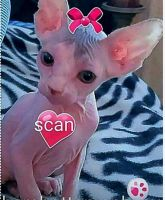 Don Sphynx Cats for sale in Winchester, CA, USA. price: NA