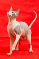 Don Sphynx Cats for sale in Crestline, CA, USA. price: NA