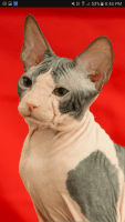 Don Sphynx Cats Photos