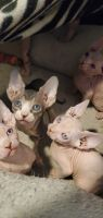 Don Sphynx Cats for sale in New York, NY, USA. price: NA