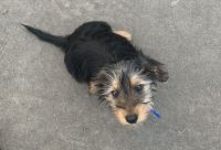 Dorkie Puppies for sale in Bloomington, MN, USA. price: NA