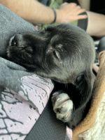 Dorkie Puppies for sale in St. Augustine, FL, USA. price: NA