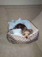 Dorkie Puppies for sale in Liberty, MO, USA. price: NA