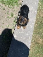 Dorkie Puppies for sale in Detroit, MI, USA. price: NA