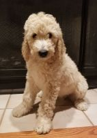 Double Doodle Puppies for sale in Orrville, OH 44667, USA. price: NA