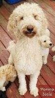 Double Doodle Puppies Photos