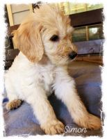 Double Doodle Puppies for sale in Huntsville, AL, USA. price: NA