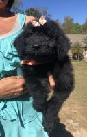 Double Doodle Puppies for sale in Tuscaloosa, AL, USA. price: NA