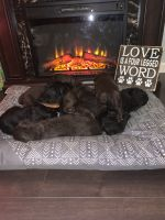 Double Doodle Puppies for sale in Belleville, IL, USA. price: NA