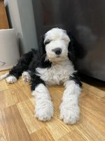 Double Doodle Puppies for sale in WaKeeney, KS 67672, USA. price: NA