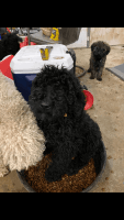 Double Doodle Puppies for sale in 3283 Hampton Blvd, Alva, FL 33920, USA. price: NA