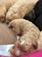 Double Doodle Puppies for sale in Tabiona, UT 84072, USA. price: NA