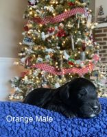 Double Doodle Puppies for sale in Fairborn, OH 45324, USA. price: NA