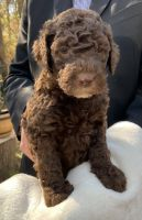 Double Doodle Puppies for sale in Houston, TX, USA. price: NA