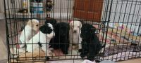 Double Doodle Puppies for sale in Woodbine, GA 31569, USA. price: NA