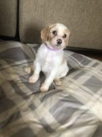Double Doodle Puppies for sale in Lexington, KY, USA. price: NA
