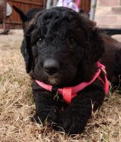 Double Doodle Puppies for sale in Frisco, TX 75035, USA. price: NA