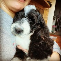 Double Doodle Puppies for sale in New Philadelphia, OH 44663, USA. price: NA